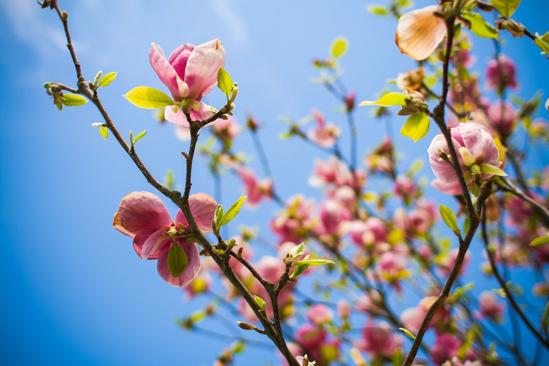 Image of pink flowers sprouting from tree branches