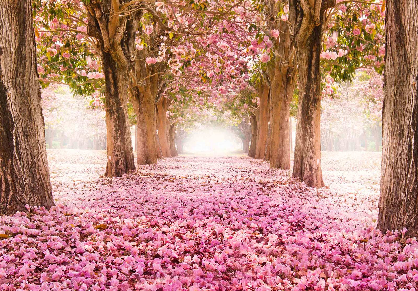 A pathway covered in pink flowers lined by several trees